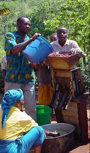 кофе Танзании лучшие сорта характеристика