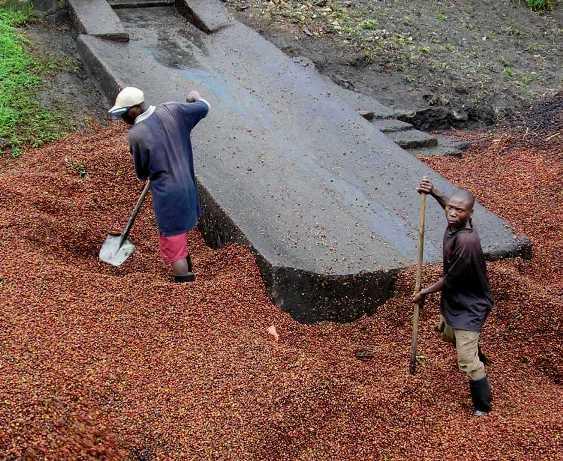 Кофе Руанды сорта