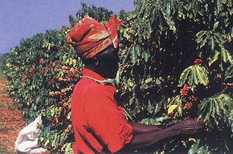 замбийский кофе