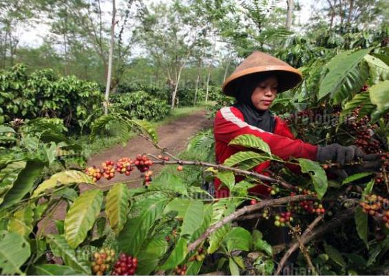 кофе индонезии