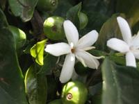 кофейное дерево выращивание 5