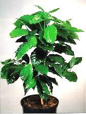 кофейное дерево  дома выращивание