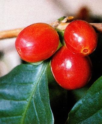 кофейное дерево выращивание плоды