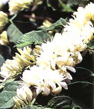 кофейное дерево выращивание цветение