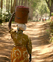 кофе Уганды